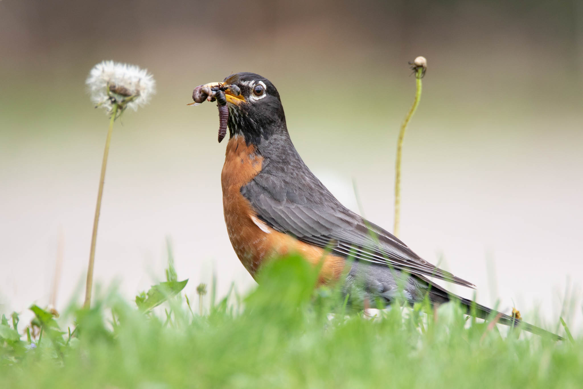 Robin eating a worm, Meal by Jayme Spoolstra, Photography Scavenger Hunt