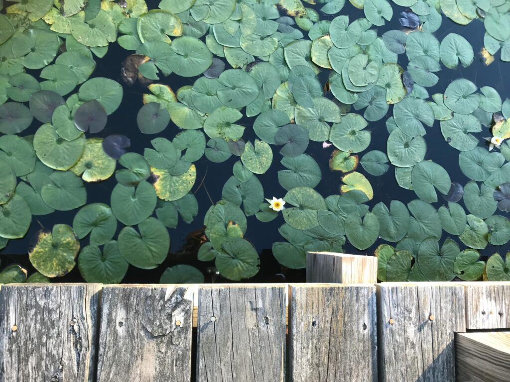 water lillies in water below a wooden dock