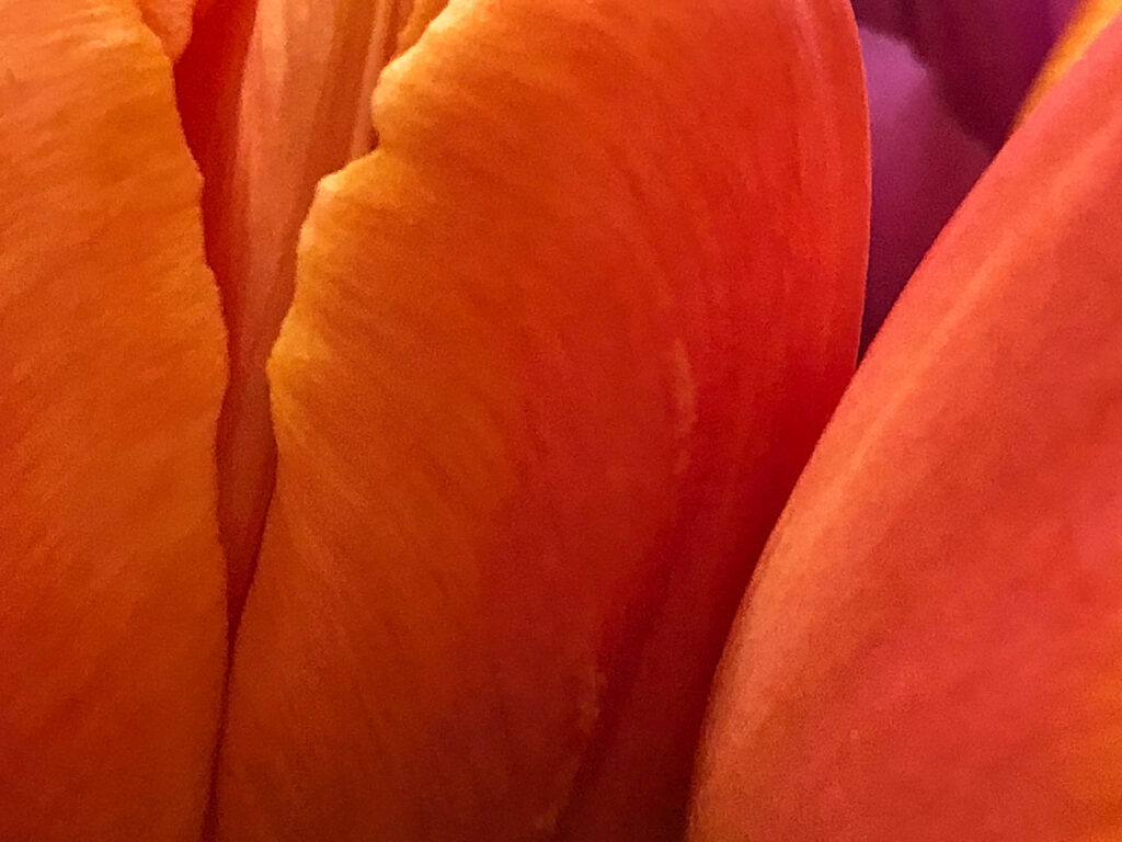 warm orange and yellow tulips