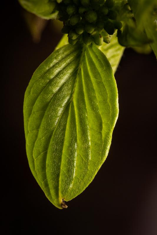 Leaf by Steffan Correll