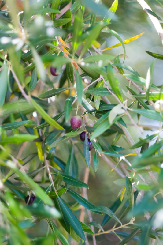 olive by sivani boxall